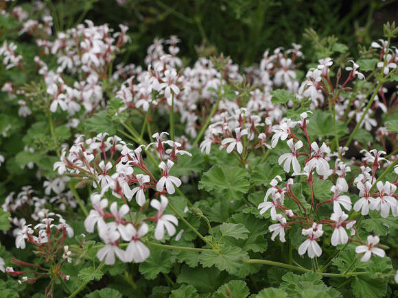 Пеларгония Scented Leaved Pelargoniums, Fragrans Group