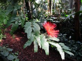 Каллиандра (Calliandra tweetii)