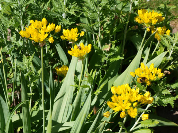 Цветок аллиум моли посадка и уход в открытом грунте