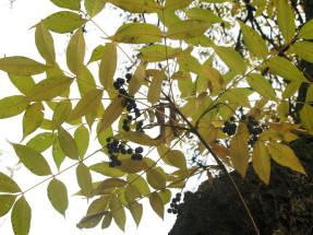 Бархат амурский, плоды