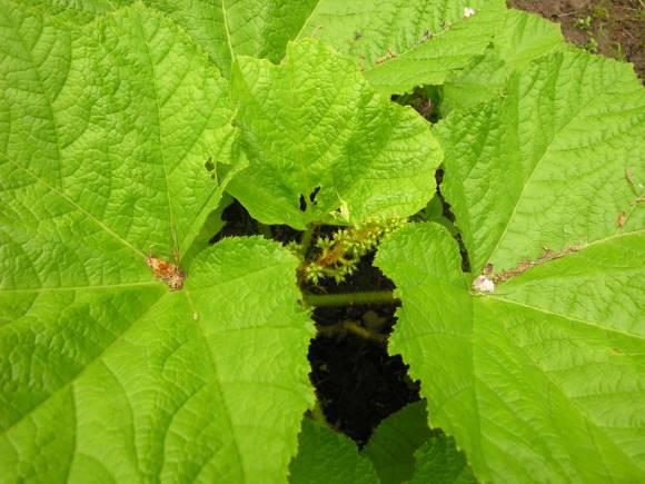 Заманиха: выращивание, лекарственные свойства