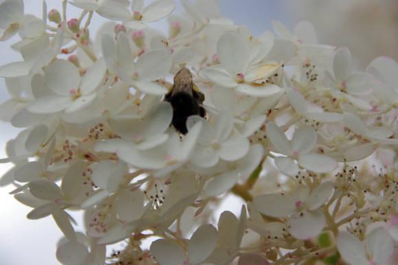 Гортензия метельчатая