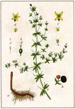Марена красильная (Rubia tinctorum син. Galium rubuim)