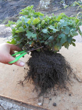 Надземную часть маточника обрезают до 8-10 см