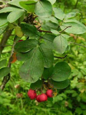 Сорбокотонеастер ПоÐднякова (Sorbocotoneaster pozdnjakovii)