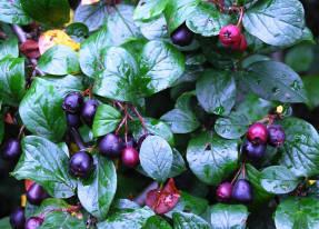КиÐильник черноплоый (Cotoneaster melanocarpus)
