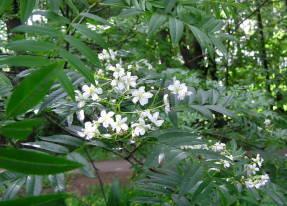 Рябина сибирская (Sorbus sibirica син. Sorbus aucuparia subsp. sibirica)