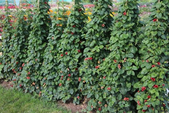 Тунбергия крылатая Arizona Dark Red на полях НК-Русский огород