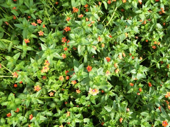 Анагаллис, или очный цвет полевой Скарлет