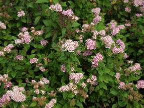 Спирея японская (Spiraea japonica) Little Princess