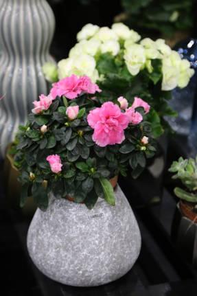 Азалия (Rhododendron, Azalea)