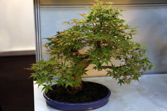 клен дланевидный (Acer palmatum), бонсай
