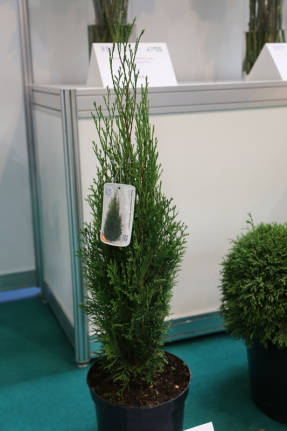 Туя западная (Thuja occidentalis) Dark Ember