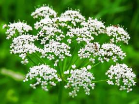 Анис обыкновенный (Pimpinella anisum)
