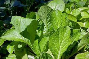 Горчица салатная (Brassica juncea)