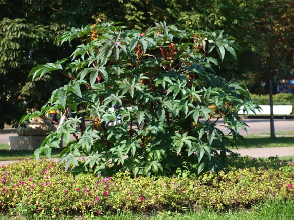 Клещевина обыкновенная (Ricinus communis)
