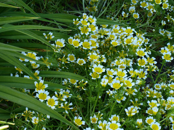 Лимнантес Дугласа (Limnanthes douglasii)