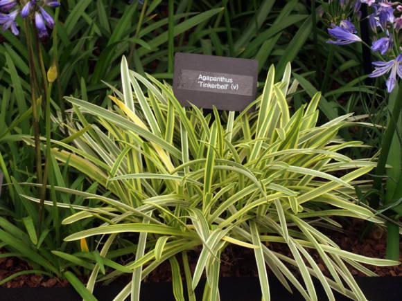 Агапантус восточный (Agapanthus  praecox subsp. orientalis) Tinkerbell