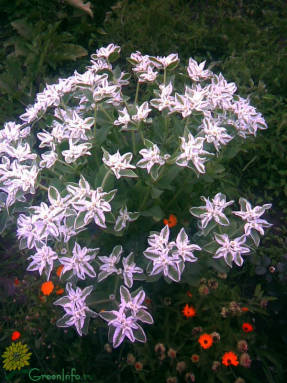 Молочай окаймленный (Euphorbia marginata)