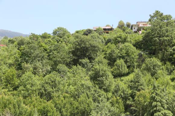 Гранатовая роща (Punica granatum)