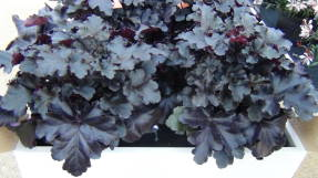 Гейхера (Heuchera) Black Pearl