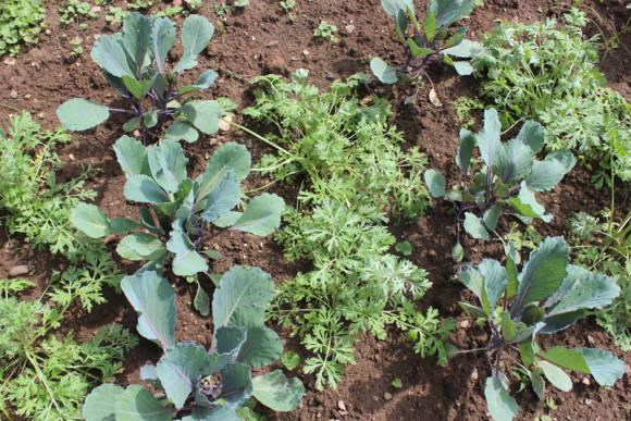 Посадки капусты с полынью