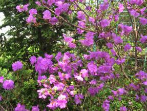 Рододендрон остроконечный (Rhododendron mucronulatum)