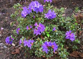 Рододендрон плотный (Rhododendron impeditum)