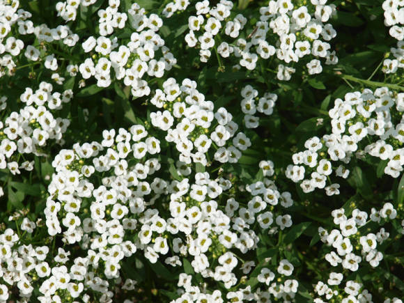 Лобулярия морская (Lobularia maritima) Big Jam White Brilliant