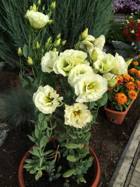 Эустома крупноцветковая (Eustoma grandiflorum) Зеленая Аллея