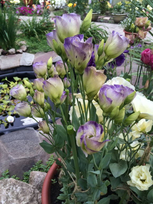 Эустома крупноцветковая (Eustoma grandiflorum) Пикколо Нозерн Лайтс