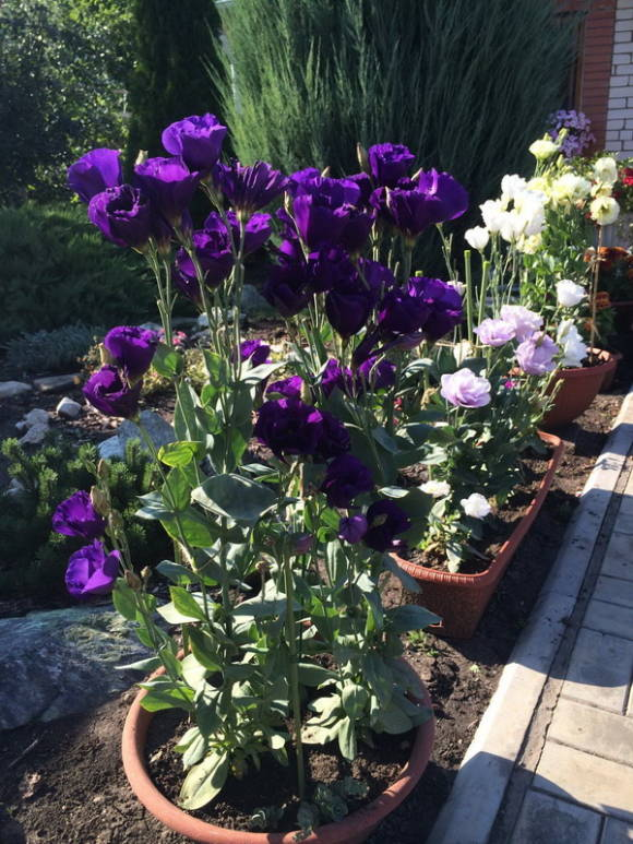 Эустома крупноцветковая (Eustoma grandiflorum)