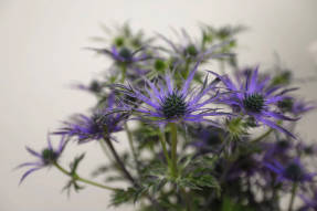Cинеголовник  (Eryngium x zabelii)  Blue Waves