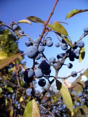 Дикий терн (Prunus spinosa)