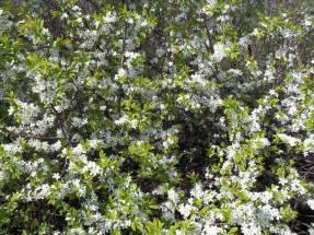 Дикий терн (Prunus spinosa), массовое цветение