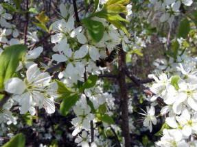 Дикий терн (Prunus spinosa), цветки