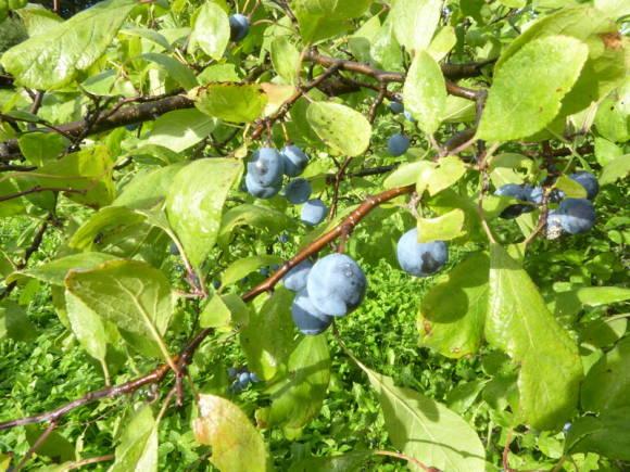 Терн, или слива колючая (Prunus spinosa)