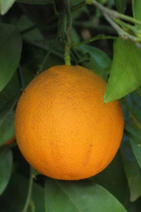 Апельсин Салустиана