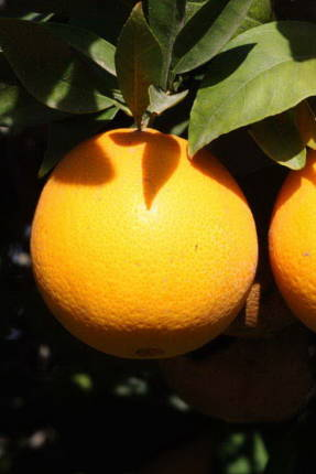 Апельсин Томсон Навел
