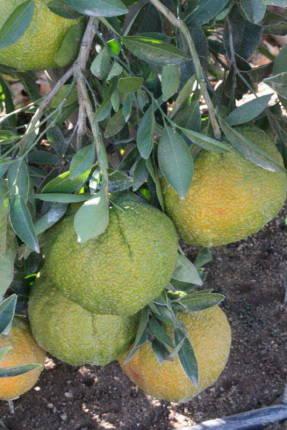 Агли-фрукт