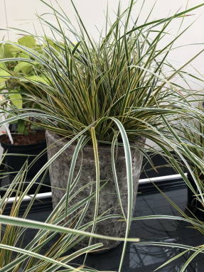 Осока Морроу (Carex morrowii)  Everglow (EverColor)