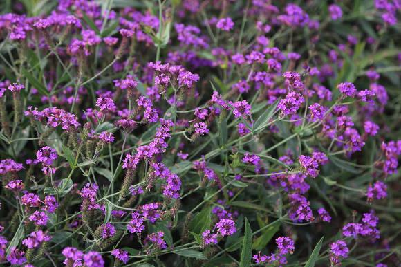 Вербена жесткая (Verbena rigida) Santos Purple