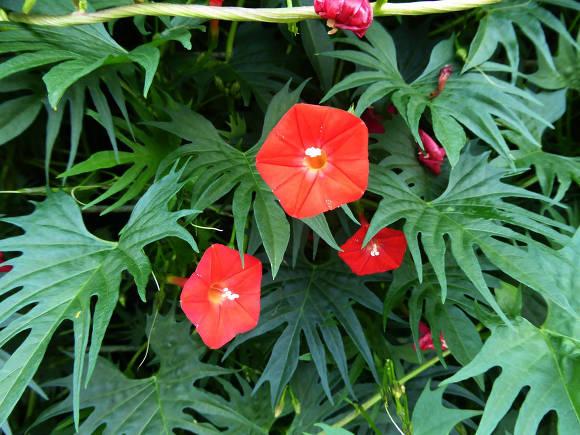 Квамоклит, или ипомея Слотера (Ipomoea sloteri) Рубиновые Огни