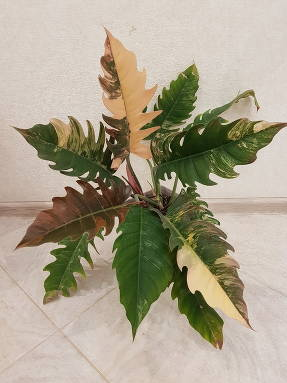 Филодендрон (Philodendron) Caramel Marble Variegated