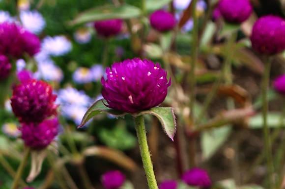 Гомфрена шаровидная (Gomphrena globosa) Las Vegas Purple