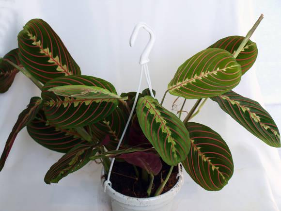 Маранта беложильчатая разн. красножильчатая (Maranta leuconeura var. erythroneura) , или маранта трехцветная (Maranta tricolor)