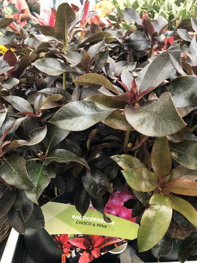 Рододендрон (Rhododendron) Calle CP (Choco & Pink)