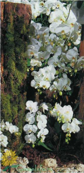 Крупноцветковый белый фаленопсис