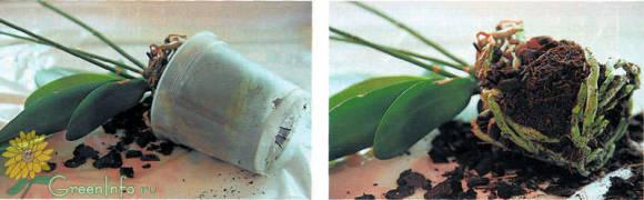 Слегка помять стенки горшка и аккуратно вынуть растение