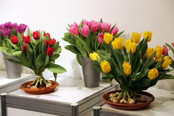 Как дольше сохранить тюльпаны луковицы и цветы